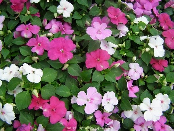 ý nghĩa hoa mai địa thảo