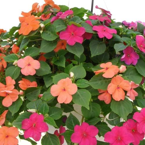 ảnh hoa mai địa thảo đẹp nhất 5