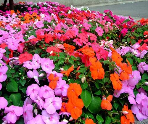 ảnh hoa mai địa thảo đẹp nhất