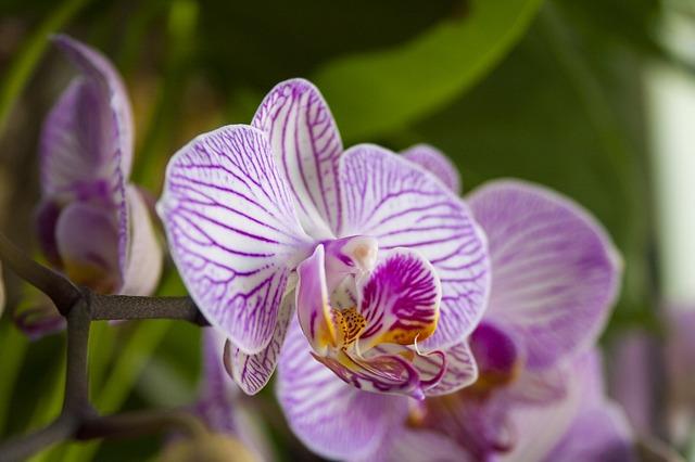 hoa lan hồ điệp đẹp nhất thế giới