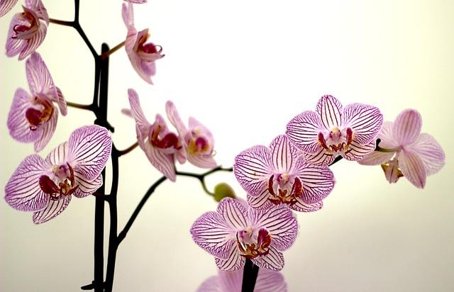 hoa lan hồ điệp đẹp nhất thế giới 2
