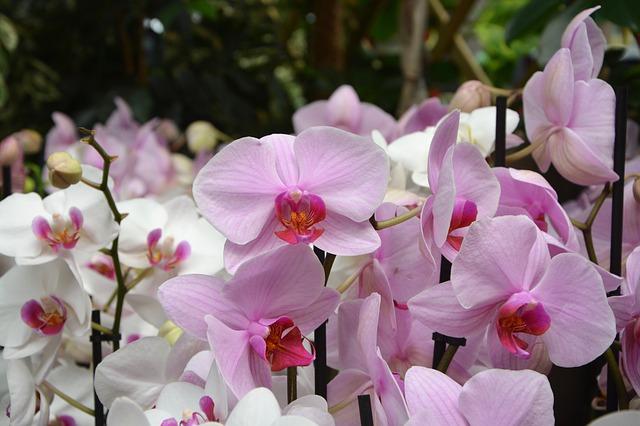 hoa lan hồ điệp đẹp nhất thế giới 3