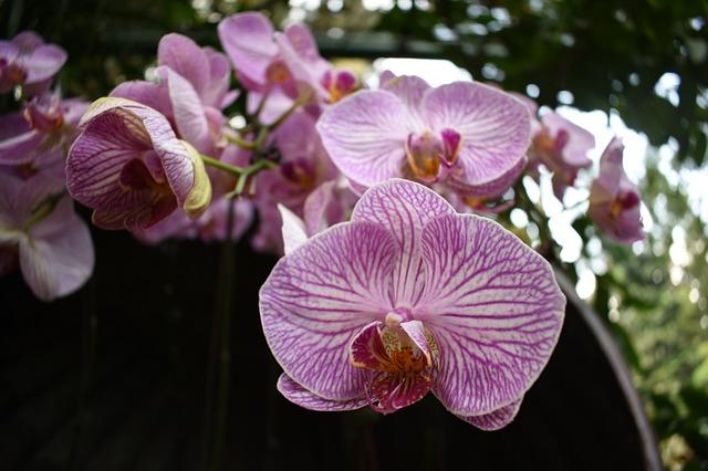 hoa lan hồ điệp đẹp nhất thế giới 4