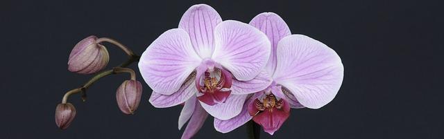 hoa lan hồ điệp đẹp nhất thế giới 7