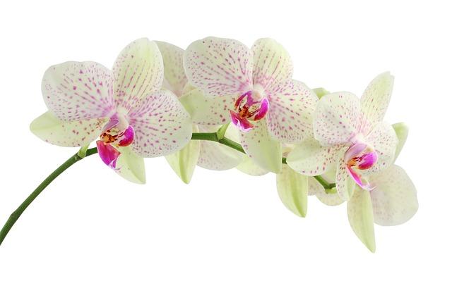 hoa lan hồ điệp đẹp nhất thế giới 9