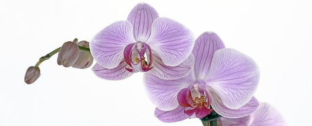 hoa lan hồ điệp đẹp nhất thế giới 10