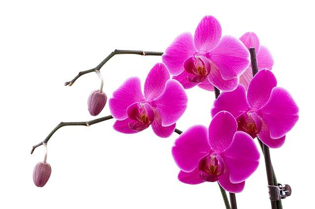 hoa lan hồ điệp đẹp nhất thế giới 11