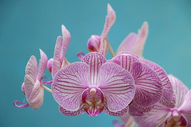 hoa lan hồ điệp đẹp nhất thế giới 12