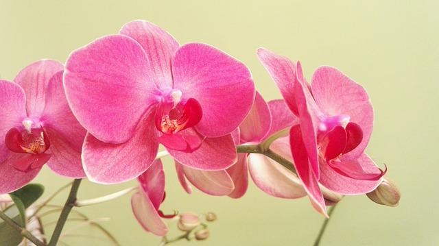hoa lan hồ điệp đẹp nhất thế giới 15