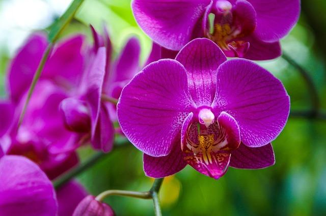 hoa lan hồ điệp đẹp nhất thế giới 17