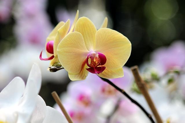 hoa lan hồ điệp đẹp nhất thế giới 18