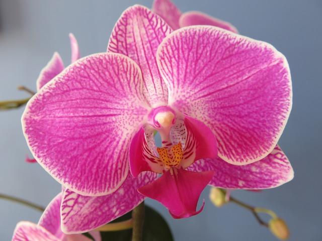 hoa lan hồ điệp đẹp nhất thế giới 22