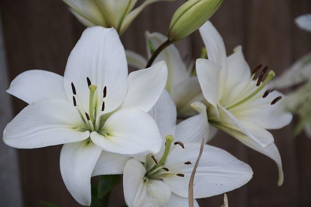 hình ảnh đẹp hoa lily 9