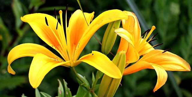 hình ảnh đẹp hoa lily 4