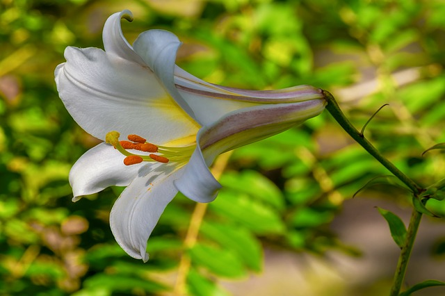 hình ảnh đẹp hoa lily 5