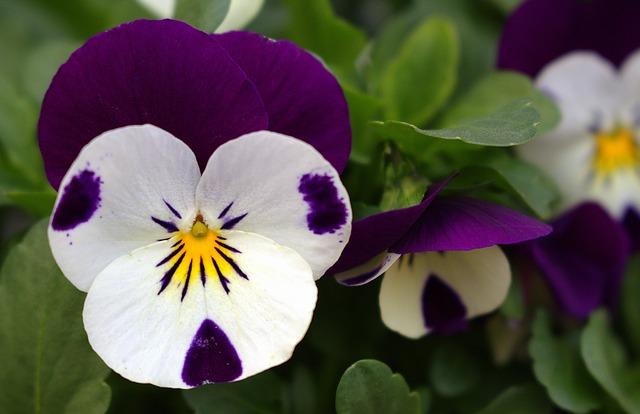 hoa pang dep 1