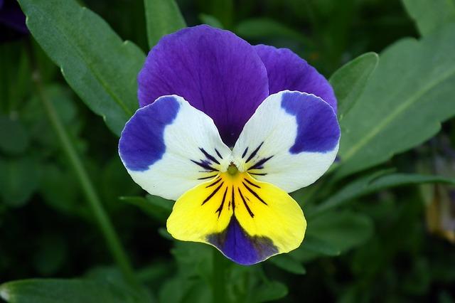 hoa pang se