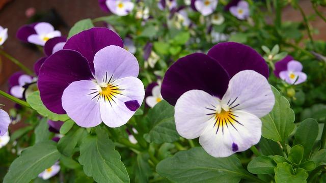 hoa pang se dep 1