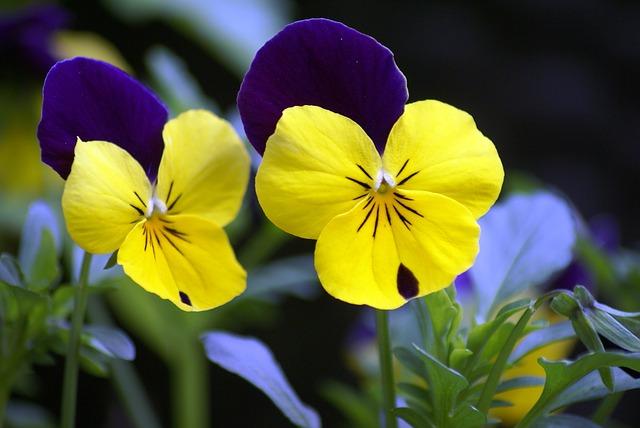 hoa pang se dep 3