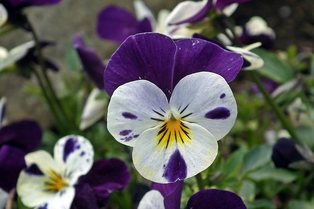hoa pang se dep 4