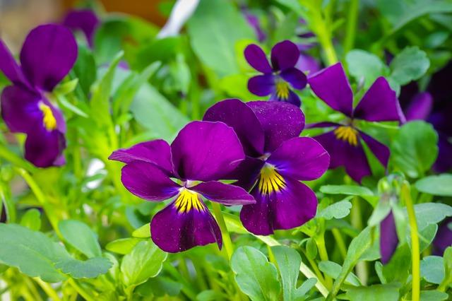 hoa pang se dep 5