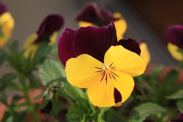 hoa pang dep