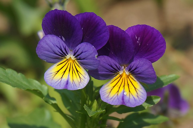 y nghia hoa pang