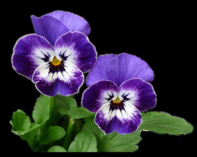 hoa pang dep 4