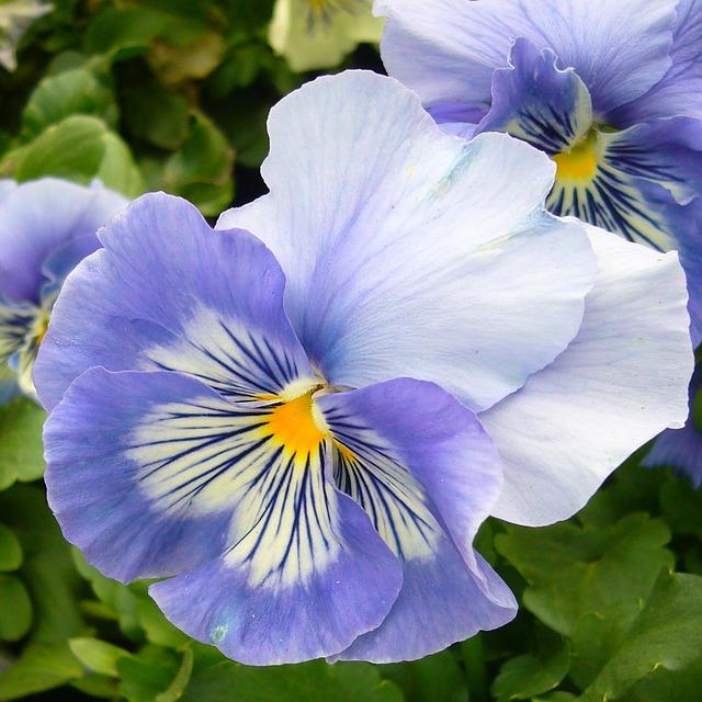 hoa pang dep 2