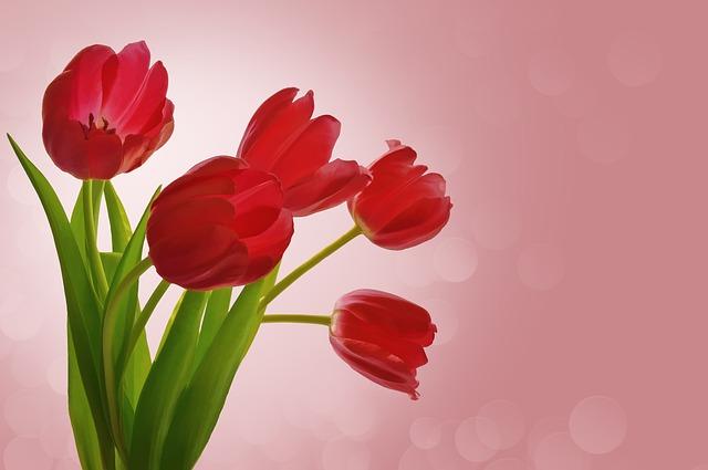 y nghia hoa tulip do