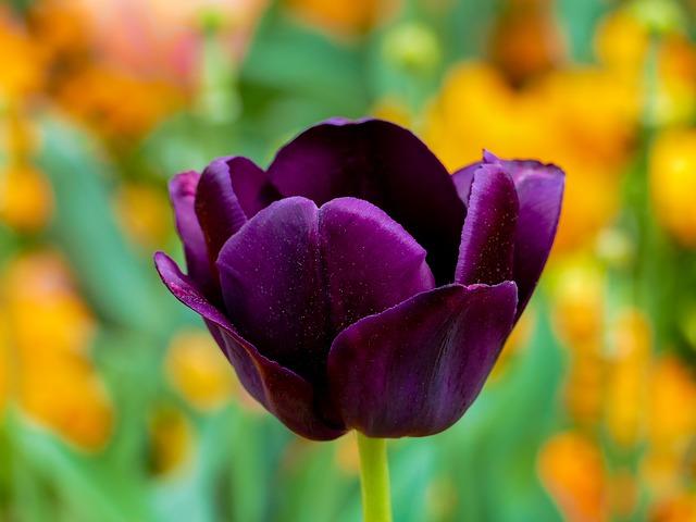 ý nghĩa hoa tulip tím