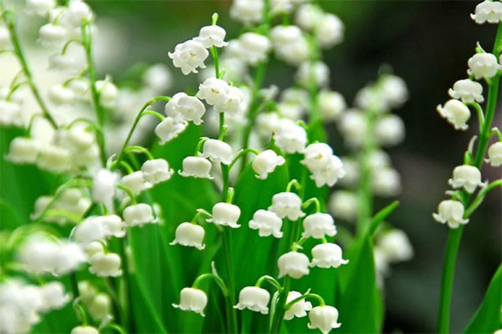 hoa linh lan co y nghia gi